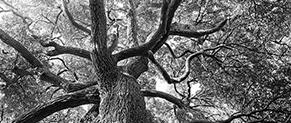 Sycomore Sélection Responsable Arbre Environnement noir et blanc